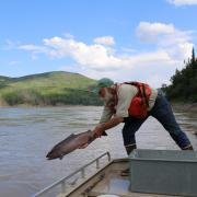 Chinook salmon released into Yukon River in Alaska, USA.