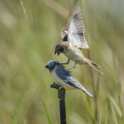 The Iberá Seedeater, an endangered songbird, acting aggressively toward a fake bird as part of the behavioral experiment conducted by Sheela Turbek. (Photo provided)
