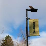 Hawk sits atop a light post with gold 'Be driven' flag