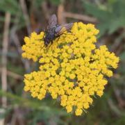 A fly visiting the flowers of alpine false springparsley