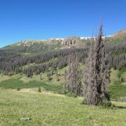 A forest in the southern Rocky Mountains with trees killed by bark beetles.