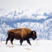A buffalo in the snow