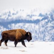buffalo walking through snow with mountains in background