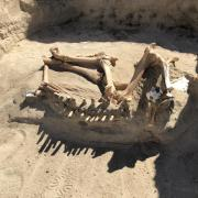 A partially excavated horse skeleton lying in the dirt.