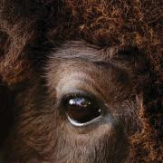 Close-up of Ralphie the buffalo