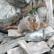 A marmot standing on a rock pile