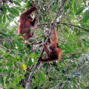 wild orangutans in trees