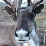 A Mongolian reindeer