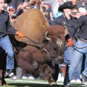 Ralphie V running on football field with handlers