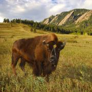 Ralphie stands in front of the Flatirons in a field at Chautauqua
