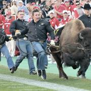 Ralphie and her handlers storm the football field on game day