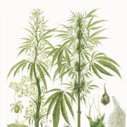 pemberton illustration