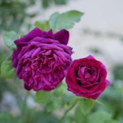 Roses in the Shakespeare Gardens