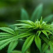 a marijuana bud