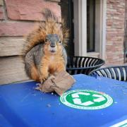 Squirrel on a compost container.