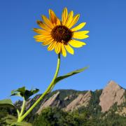 Sunflower with bluebird skies and Flatirons in the background