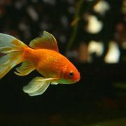 Goldfish swimming in an aquarium