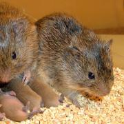voles and their babies