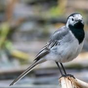 A white wagtail