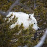 A white wolf walks through trees