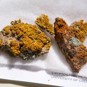 Lichen sample from the herbarium