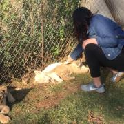 Student Connie Hernandez visits with lion cubs in a pen