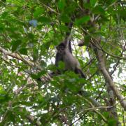 Monkey peeks at the group from a tree