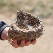 Swallow nest.