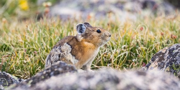 "A photograph titled ""American Pika"" by Alex Bauch"