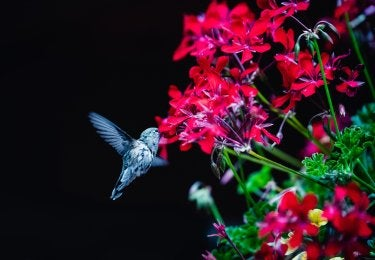 A photo of a hummingbird and red flowers