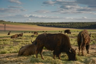 A photo of several buffalo/bison on a plain