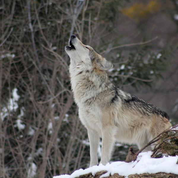 Wolf howling in falling snow.